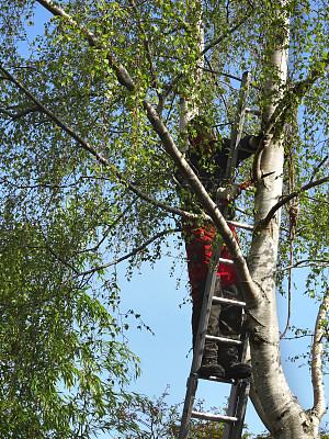 花木匠,枝,锯子,梯子,图像,垂枝日本早樱,工作靴,白桦树,链锯,工装背带裤