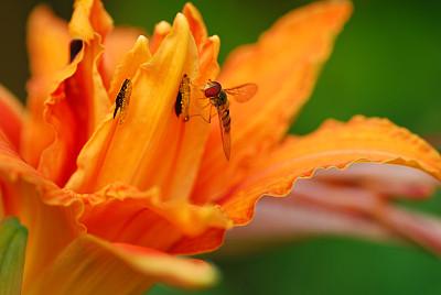 食蚜蝇,萱草,平衡折角灯,水平画幅,橙色,雄蕊,无人,夏天,一只动物,侧面视角