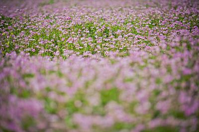 春天,紫云英,黄芪,琉璃苣,矢车菊,留白,枝繁叶茂,夏天,草,图像