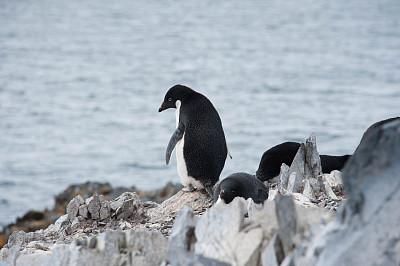 阿黛利企鹅,岩石,南极群岛,筑巢处,南冰洋,水,水平画幅,无人,鸟类,企鹅