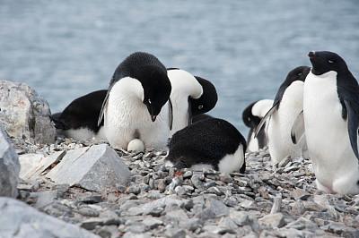 阿黛利企鹅,卵,南极群岛,筑巢处,水平画幅,岩石,无人,鸟类,企鹅,动物身体部位