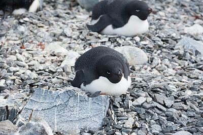 阿黛利企鹅,动物的巢,筑巢处,水平画幅,岩石,无人,鸟类,企鹅,动物身体部位,野外动物