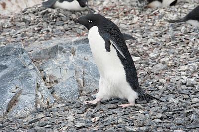 阿黛利企鹅,岩石,南极群岛,筑巢处,水平画幅,无人,鸟类,企鹅,动物身体部位,野外动物