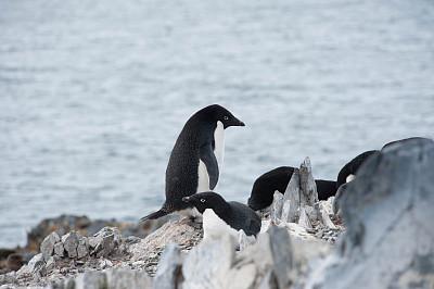阿黛利企鹅,南极群岛,筑巢处,水平画幅,岩石,无人,鸟类,企鹅,动物身体部位,野外动物