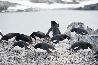阿黛利企鹅,海洋,南极群岛,筑巢处,南冰洋,水平画幅,雪,无人,鸟类,企鹅