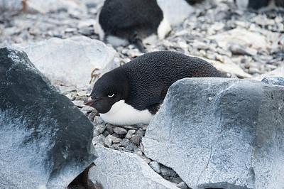 阿黛利企鹅,鸟巢,南极群岛,筑巢处,水平画幅,岩石,无人,鸟类,企鹅,动物身体部位