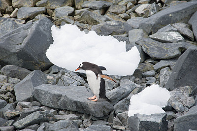 巴布亚企鹅,南极群岛,筑巢处,水平画幅,岩石,雪,无人,鸟类,企鹅,动物身体部位