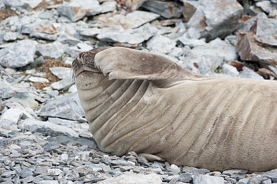 食蟹海豹,南极群岛,水平画幅,岩石,无人,野外动物,石头,腮须,动物鳍,哺乳纲