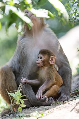 猴子,寺庙,加德满都,哈拉雷,尼泊尔,婴儿,母亲,安纳普纳生态保护区,安娜普娜山脉群峰,垂直画幅