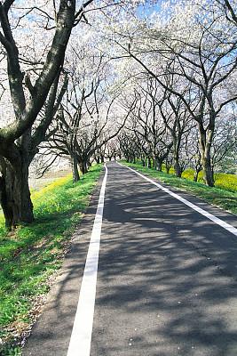 小路,樱桃树,芸苔,垂直画幅,天空,里山,樱花,无人,阴影,户外