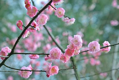 李子,自然美,春天,粉色,李树,天空,水平画幅,无人,户外,开花时间间隔