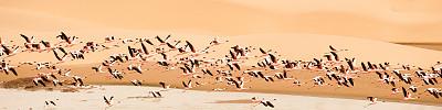 沙漠绿洲,火烈鸟,沃尔维斯湾,小火烈鸟,纳米布沙漠,水平画幅,沙子,全景,鸟类,户外