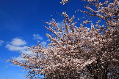 亚洲樱桃树,图像聚焦技术,水平画幅,樱花,樱桃,无人,日本,户外,开花时间间隔,春天