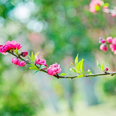 梅花,粉色,李树,选择对焦,美,留白,无人,户外,特写,明亮