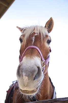马,纯种马,垂直画幅,美,褐色,母马,动物耳朵,美人,家庭生活,动物身体部位