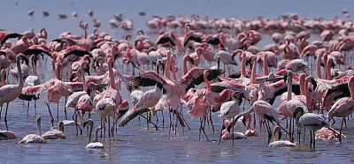 纳库鲁湖,火烈鸟,小火烈鸟,纳库鲁湖国家公园,水,美,国家公园,水平画幅,鸟类,野外动物