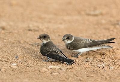 沙子,两只动物,自然,图像聚焦技术,选择对焦,留白,野生动物,水平画幅,无人,鸟类