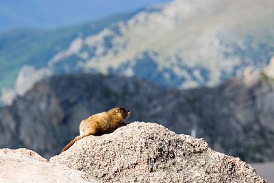 埃文斯山荒野地,旱獭,科罗拉多州,前山脉,自然,洛矶山脉,野生动物,水平画幅,无人,野外动物