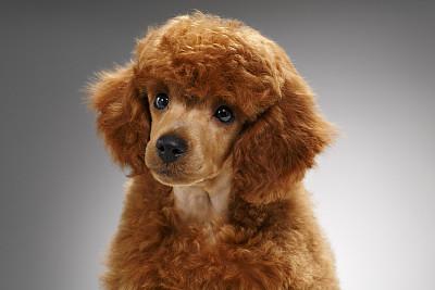 小型贵宾犬,可爱的,小狗,狗,玩具贵宾犬,美,褐色,纯种犬,水平画幅,小的