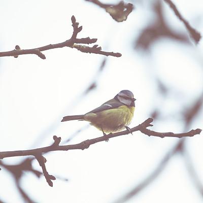鸟类,冬天,小的,大山雀,山雀,麻雀,天空,无人,秃树,北美歌雀