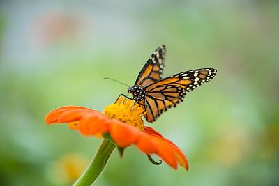 黑脉金斑蝶,选择对焦,留白,水平画幅,蝴蝶,无人,动物身体部位,夏天,户外,特写