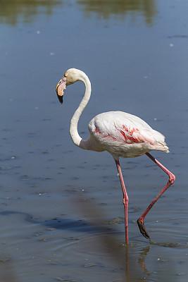 卡马尔格,火烈鸟,粉色,小火烈鸟,罗讷河,罗讷省,罗纳河口,颈,垂直画幅,热带鸟