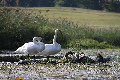 天鹅,自然,水,水平画幅,鸟类,户外,幼小动物,自然美,青年人,2015年