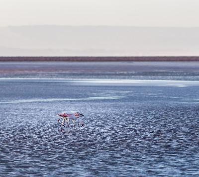 安塔卡盐湖,火烈鸟,智利,安托法加斯塔大区,阿塔卡马大区,阿塔卡马沙漠,盐湖,自然,南美,水