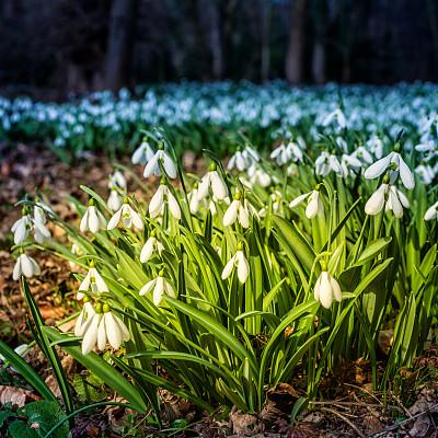 雪花莲,在底端,百万富翁,山毛榉树,新的,仅一朵花,白色,冬天,植物学