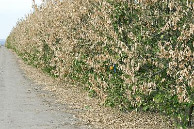 科恩郡,橙子,加利福尼亚,小树林,桔树,封锁线,枯萎的,水平画幅,户外