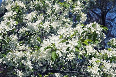 苹果花,白色,水平画幅,无人,五月,早晨,日光,户外,晴朗