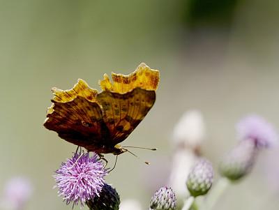 逗点蝴蝶,香蒲,唱片,选择对焦,褐色,水平画幅,蝴蝶,无人,动物身体部位,夏天