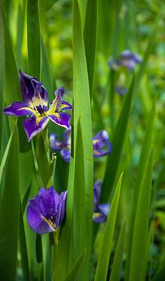 萱草,垂直画幅,温带的花,绿色,无人,户外,百合科,仅一朵花,百合花
