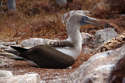 北西摩岛,蓝足结巴鸟,加拉帕戈斯群岛,厄瓜多尔,水平画幅,无人,鸟类,结巴鸟,摄影