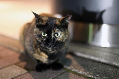 猫,注视镜头,宠物,水平画幅,夜晚,无人,2015年,日本,户外,一只动物