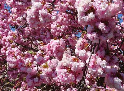 樱桃,枝,花朵,图像,充满的,负担过重,亚洲樱桃树,星和园,天空,公园