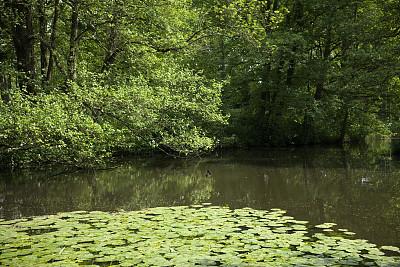 百合花,池塘,簇叶从生的,里山,水平画幅,枝繁叶茂,睡莲,无人,英格兰,夏天