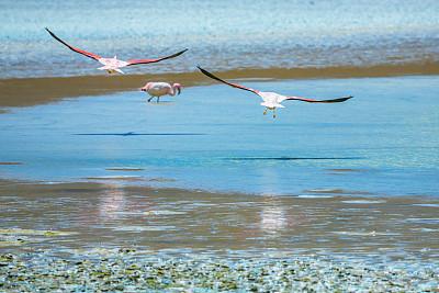 火烈鸟,玻利维亚,在上面,拉古娜海滩,科罗拉达湖,小火烈鸟,国际生物圈保护区,鸟编队飞行,阿塔卡马大区,南美