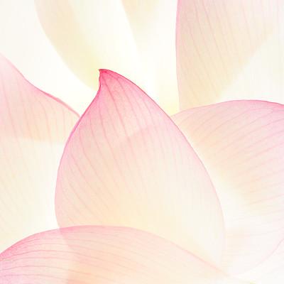 荷花,花瓣,粉色,自然,美,芳香的,睡莲,无人,浪漫,夏天