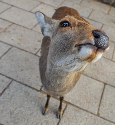 奈良县,野外动物,日本,鹿,自拍,奈良市,长耳鹿,山艾树,白尾鹿,野生动物保护