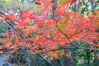 秋天,日本,京都府,叶子,自然美,日本茶道公园,星和园,神殿,枝繁叶茂,九月