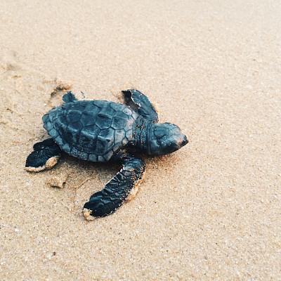 新生動物,綠蠵龜,斯里蘭卡,希克杜沃,龜,在移動設備上拍攝,自然,海龜,野生動物,小的
