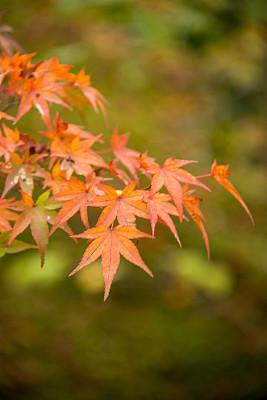 秋分,星和园,垂直画幅,京都府,绿色,枝繁叶茂,枫叶,秋天,无人,色彩鲜艳