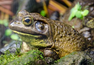 牛蛙,特写,自然,水平画幅,绿色,无人,青蛙,野外动物,沼泽,彩色图片