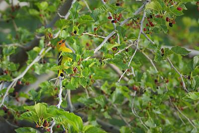 西部裸鼻雀,桑椹,桑树,自然,野生动物,美国,水平画幅,绿色,水果,无人