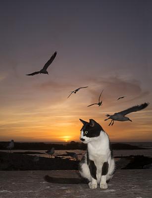索维拉城,垂直画幅,河岸,猫,无人,曙暮光,户外,海鸥,海洋,捕食