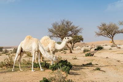 白色,骆驼,沙漠,阿莱茵,茶色,阿拉伯半岛,卡塔尔,阿曼,天空,留白