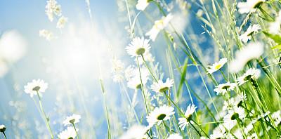 雏菊,春天,甘菊花,甘菊,花坛,草,田地,太阳,天空,温带的花
