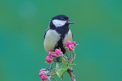 大山雀,艾费尔高原,动物喊叫,苹果花,水平画幅,鸟类,动物身体部位,户外,北美歌雀