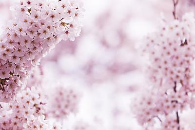 樱桃树,粉色,选择对焦,留白,水平画幅,樱花,无人,户外,特写,植物